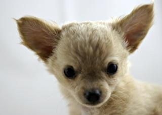 Chihuahua, bigears