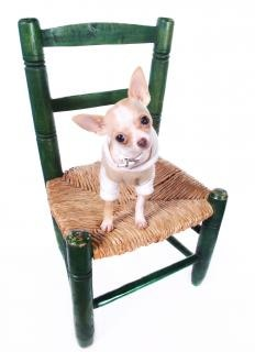 Chihuahua dog sitting on chair