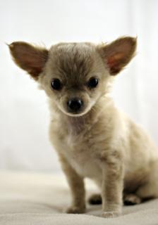 Chihuahua, pet, furry