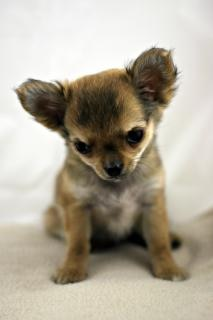 Chihuahua, pet