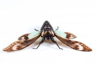cicadidae sp cicada  legs