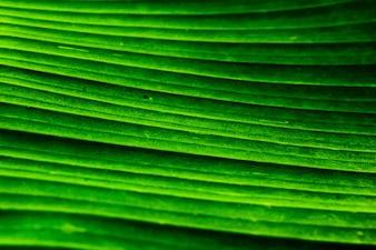 Close up banana leaf
