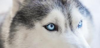 Close-up of a husky's eyes