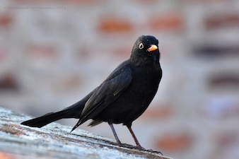 Close-up of black bird with blurred background