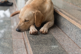 Close up of Brown dog sleep on stair