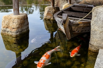 Close-up of carps in the pond