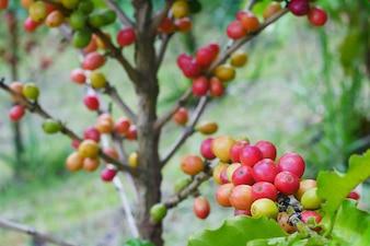 刈り取る前にコーヒー植物の枝に桜のコーヒー豆のクローズアップ