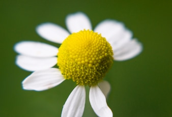 Close-up of daisy with few petals