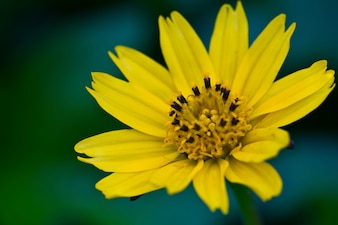 Close-up of daisy with yellow petals
