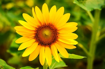 Close-up of fantastic sunflower
