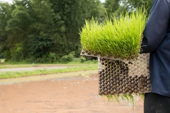 Close up of farmer holding Rice seedlings.