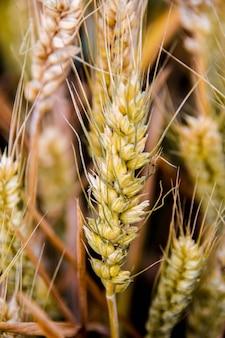 開花大麦のクローズアップ