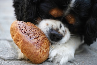 Close-up of hungry dog eating bread
