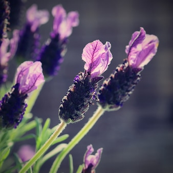 Close-up of lavender flowers in spring