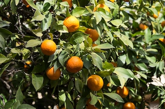 Close-up of oranges on the tree