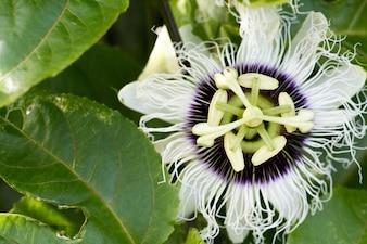 情熱花(Passiflora incarnata)のクローズアップ