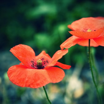 Close-up of poppies with blurred background
