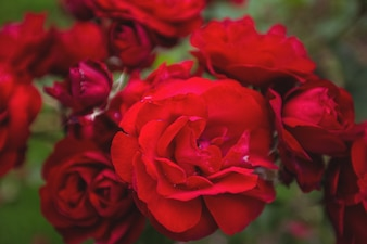 Close-up of red roses on plant