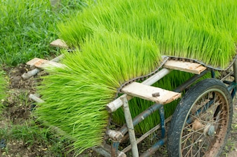 Close up of  Rice seedlings.