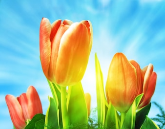 Close-up of tulips on a sunny day