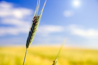 Close-up of wheat with blurred background