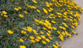 Close up of yellow flowers inside footpath