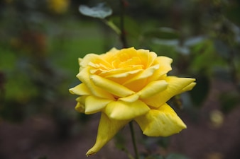 Close-up of yellow rose