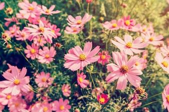 日光、ヴィンテージフィルターが付いているフィールドにピンクのコスモス花を閉じます。