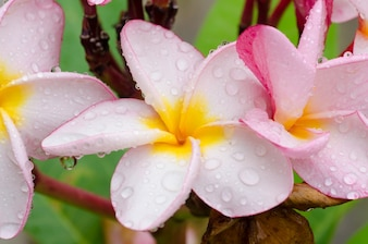 Close up pink-yellow plumeria or frangipani flowers with water drop in the park.