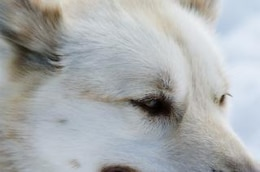 Close up with a husky, cold, holiday