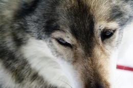 Close up with a husky, cold, ice