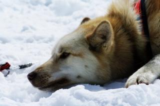 Close up with a husky, hobby