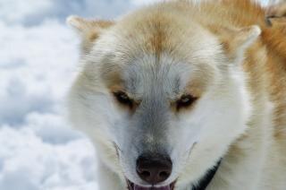 Close up with a husky, snow