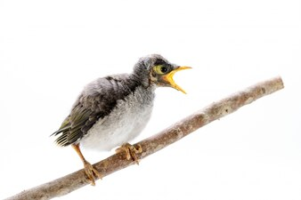 Closeup of a baby noisy miner on white background. An Australian native bird.