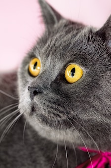 Closeup of beautiful luxury gorgeous grey british cat with vibrant eyes. Bright Background. Selective focus.