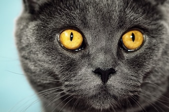 Closeup of beautiful luxury gorgeous grey british cat with vibrant eyes. Dark Blue Background. Selective focus.