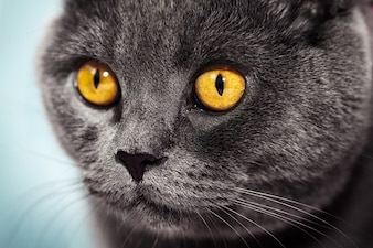 Closeup of beautiful luxury gorgeous grey british cat with vibrant eyes. Selective focus.