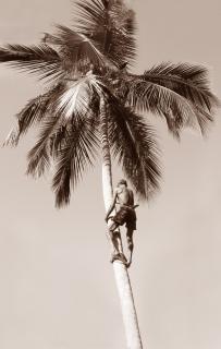 Coconut Plucker, climb