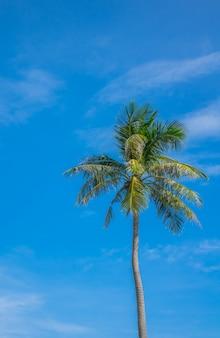 Coconut tree over blue sky .