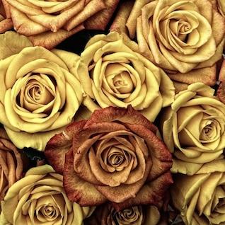 color plant flower rose roses valentine love
