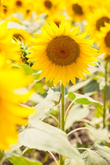Coloured sunflower picture