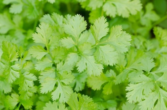Coriander growing in the garden. Coriander is loaded with antioxidants