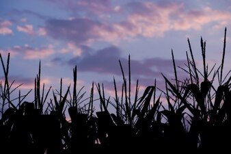 Cornfield Corn Vectors...