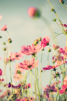 Cosmos flower and soft light with vintage toned effect.