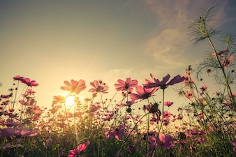 Cosmos flower and sunset with with vintage toned effect.