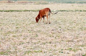 牛と乾燥した草のフィールド。