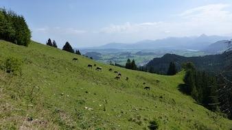 Cows lakes alpe allgu meadow mountains kappeler