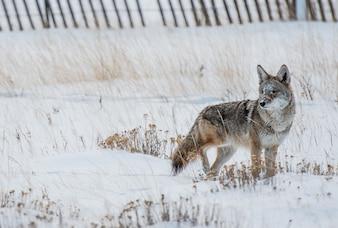 Coyote Winter Hunt