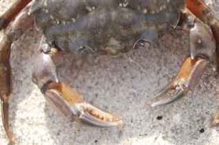 Crab, danish