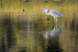 Crane In Shallow Waters